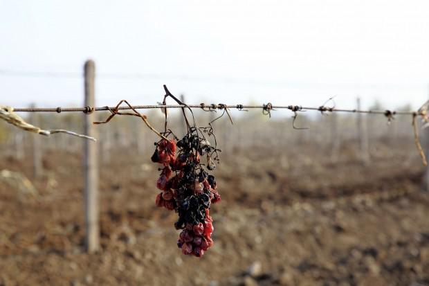 Com a proximidade do inverno, os vinhedos temporariamente são enterrados no Norte da China
